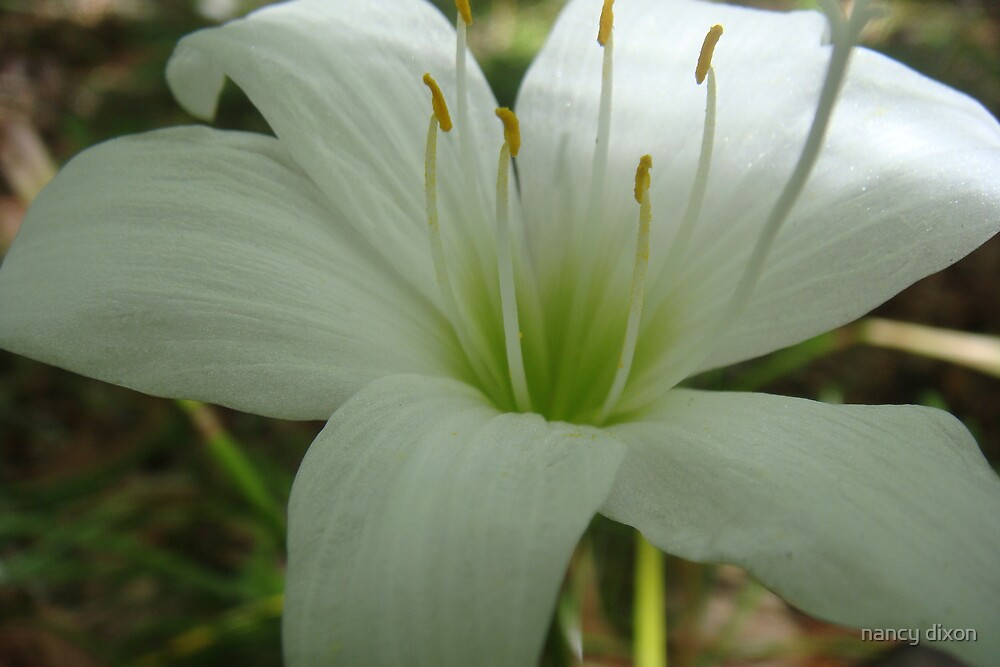 white lily by nancy dixon