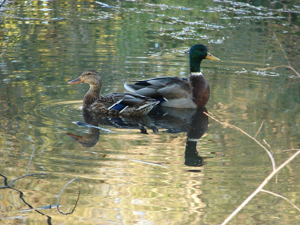 Mallards in Creek 3 by Jill Ann  O'Mary