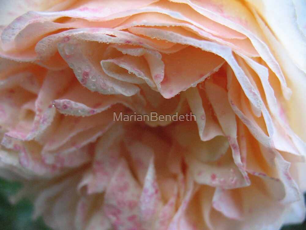 Apricot Joy Rose by MarianBendeth