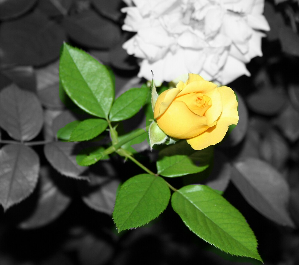 Yellow Rose.. by natgirl73