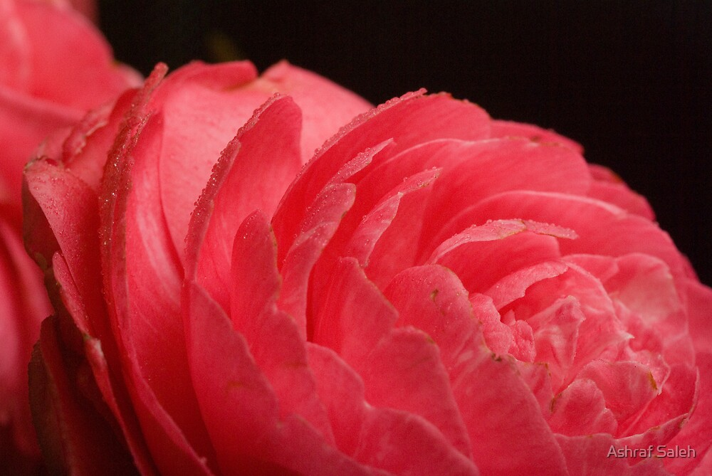 Soft Red by Ashraf Saleh