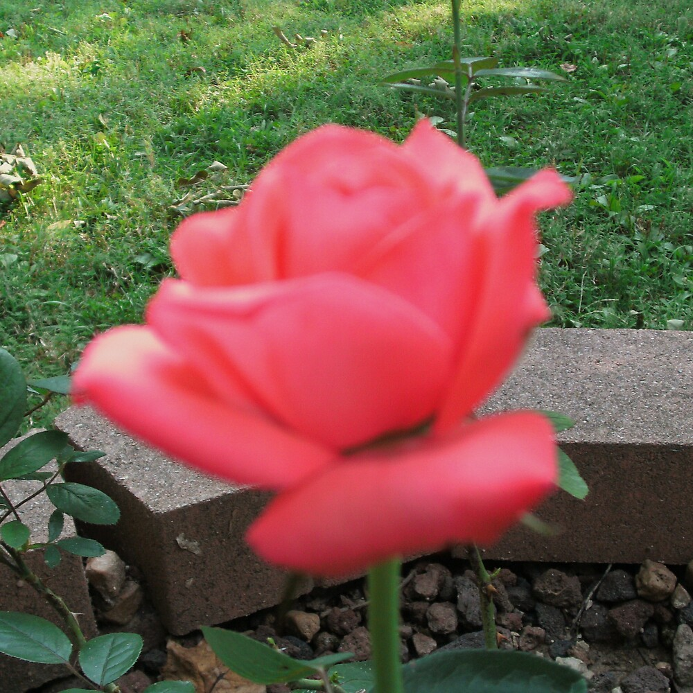 Perfection Of A Rose. by ladybug49