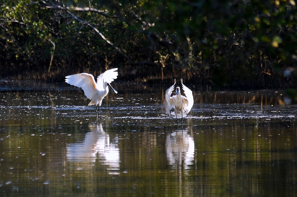 Bed time ballet by the beautiful Australian spoonbill by bobbyverrills