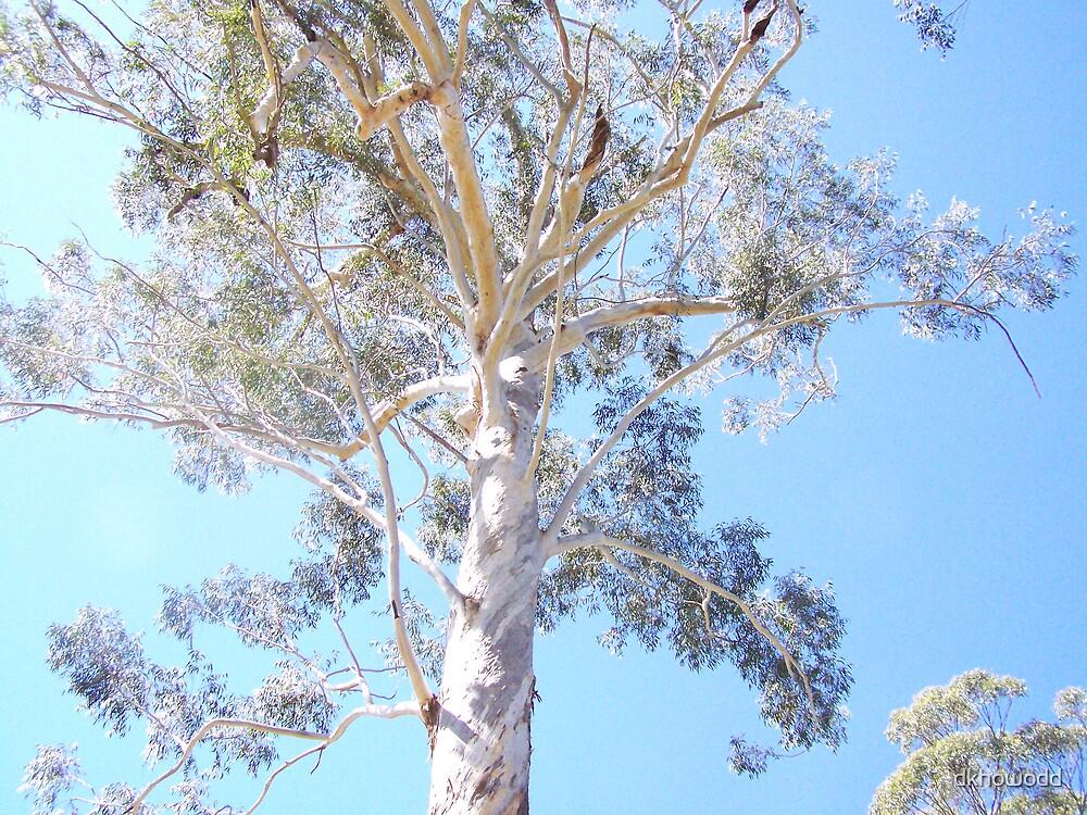 400 year old gum tree by dkhowodd