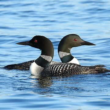 Loon love (video of this in description) by locustgirl