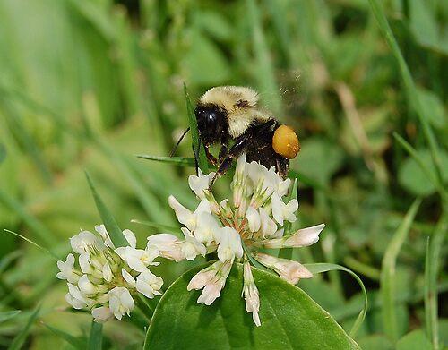 Baby Bumblebee by Carol Knepp