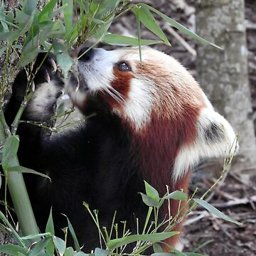 Red Panda by kirstybush