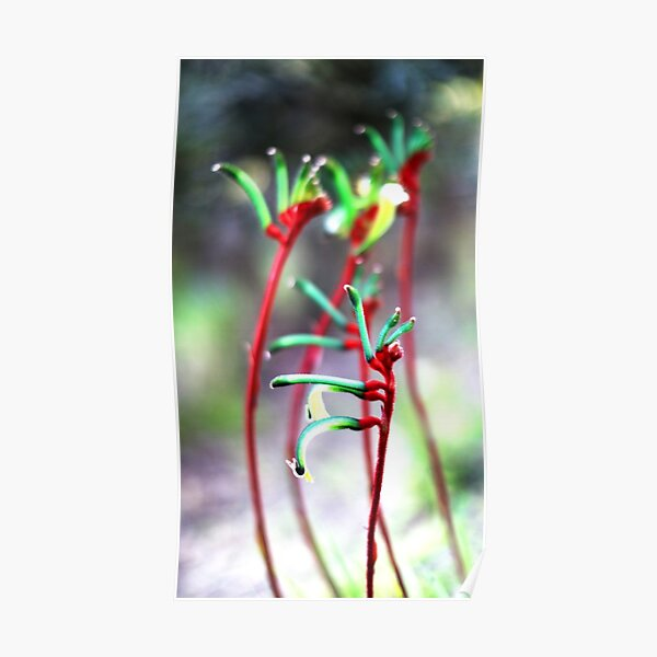 Kangaroo Paws stand tall in spring Poster