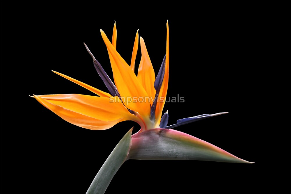 Bird of Paradise by simpsonvisuals