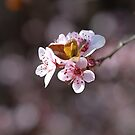 Dance Of The Blossom by Joy Watson