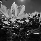 Leaves in B+W by Manfred Belau