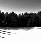 Lone Spruce by Wayne King