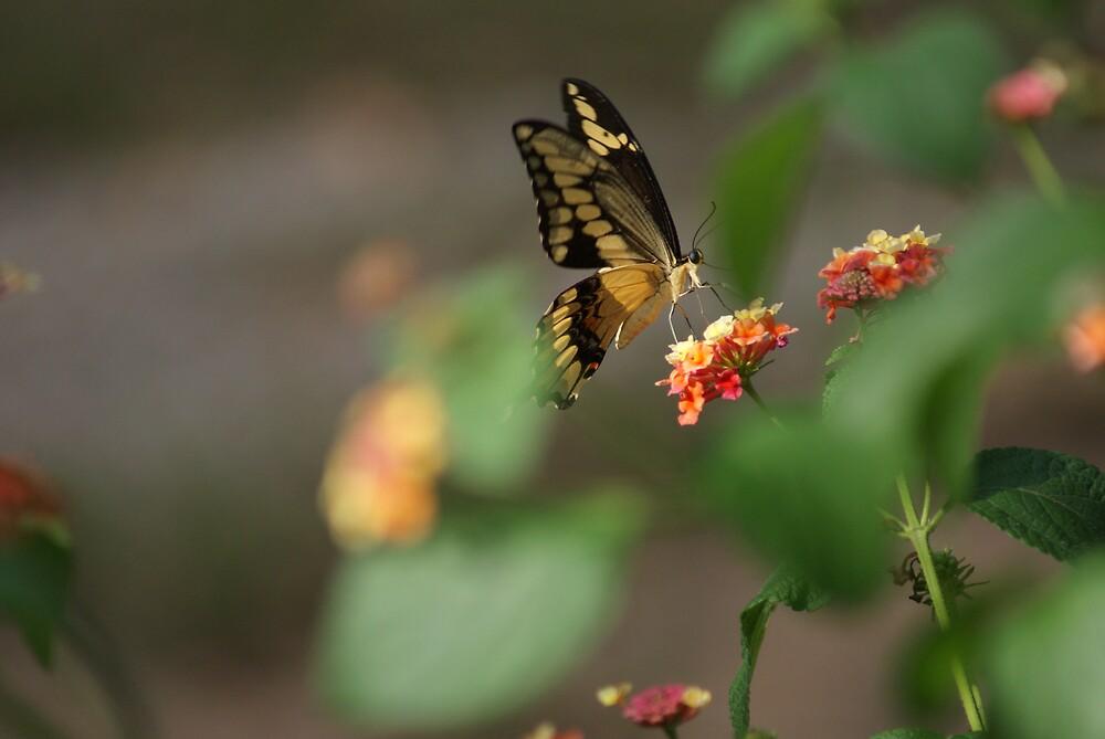 Giant Swallowtail by TxGimGim