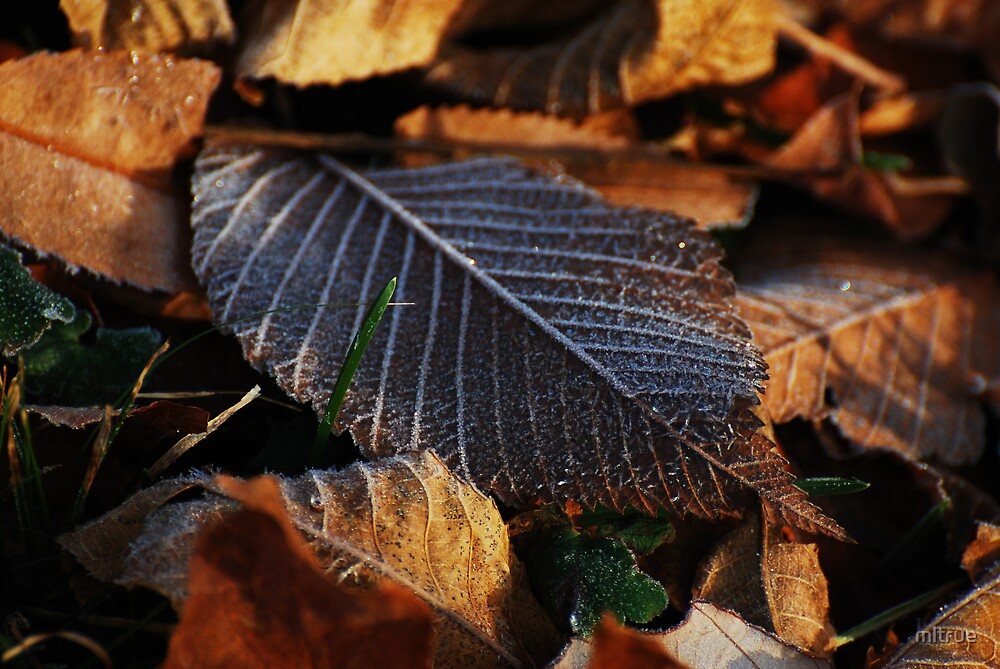 Autumn leaves with early frost by mltrue