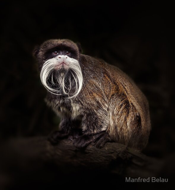 Bearded emperor tamarin by Manfred Belau