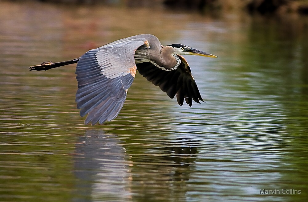 052309 Great Blue Heron by Marvin Collins