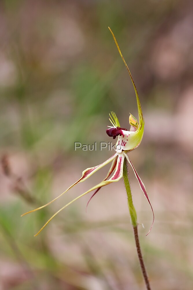 Mantis Orchid - Arachnorchis tentaculata by Paul Piko
