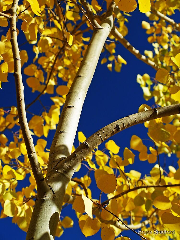 Golden Aspen by Bryce Bradford
