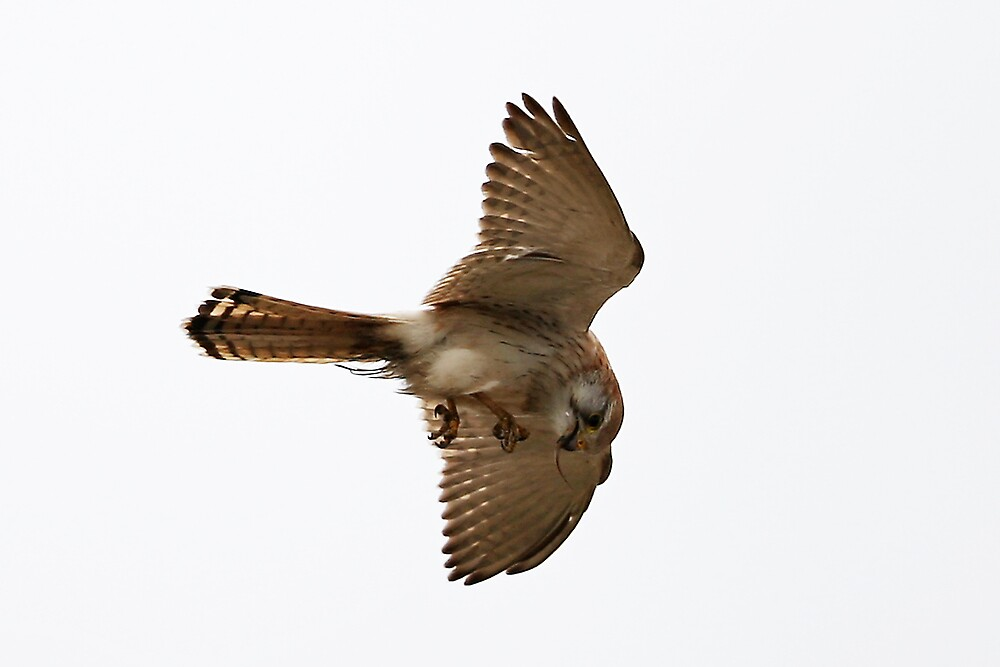 Nankeen Kestrel 02 by Yanni
