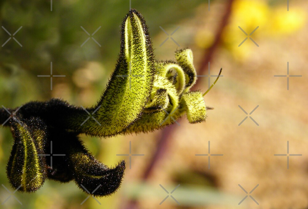 Black Kangaroo Paw Native Flower by TeAnne