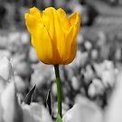 Tulip 3 by Judi Corrigan