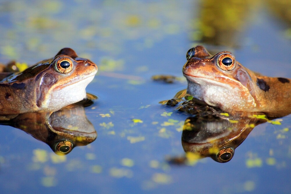 Frogs and Reflection by chris2766