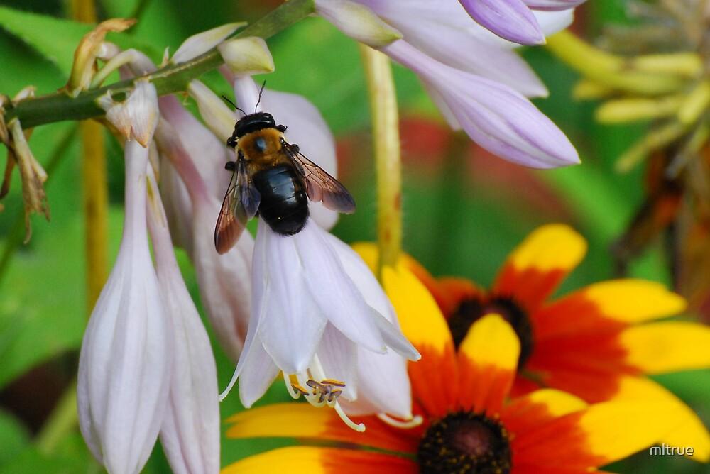Bee On Hosta Flower by mltrue