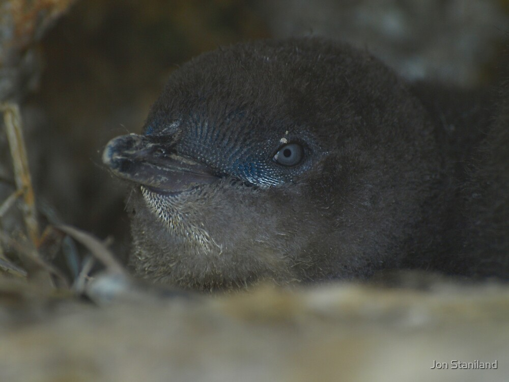 Baby Fairy Penguin by Jon Staniland