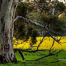 Canola & Gums Revisited, Hyden, WA by Malcolm Katon