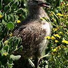 Seagull Chick by Jon Staniland