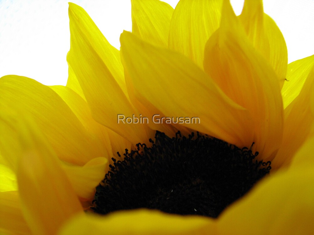 Sunflower by Robin Grausam