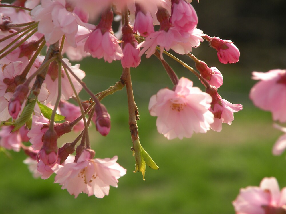 Cherry Blossoms by Nokie