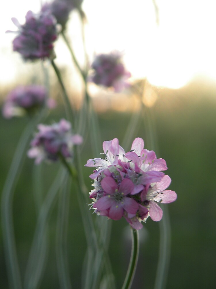 Soft Purple by Nokie