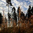 Morning light (My forest) by Antanas