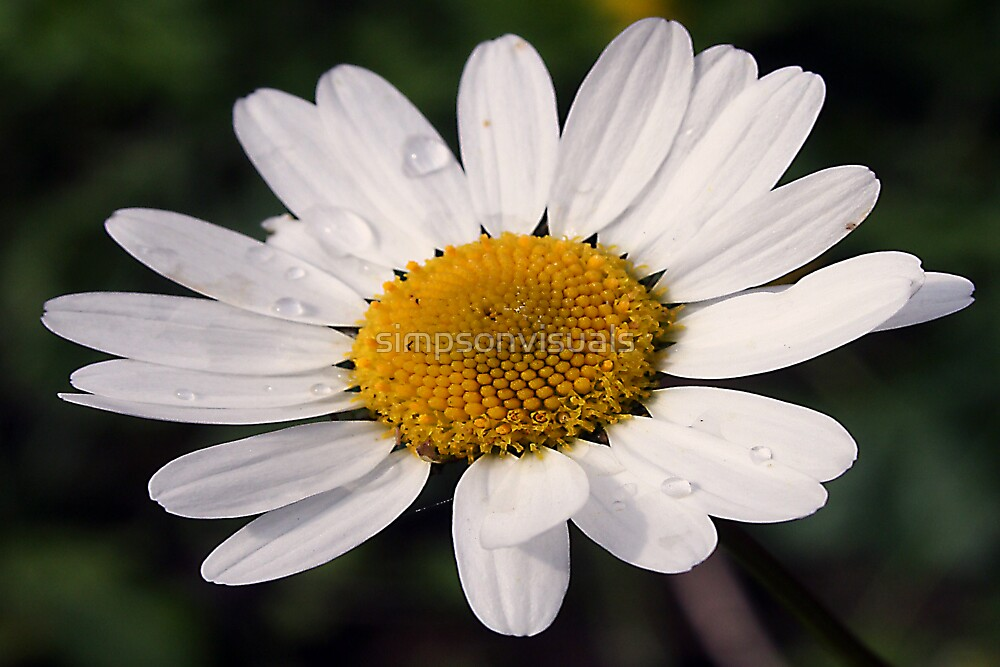 Dewdrops on Daisy by simpsonvisuals