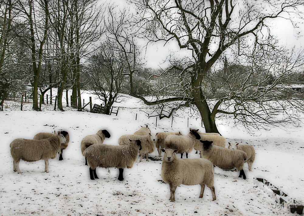Snowy the Sheep by Jon Tait