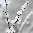 Snowy thorns by Jon Tait
