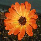 Färbe mich Orange! Niedliches Kap-Gänseblümchen von BlueMoonRose