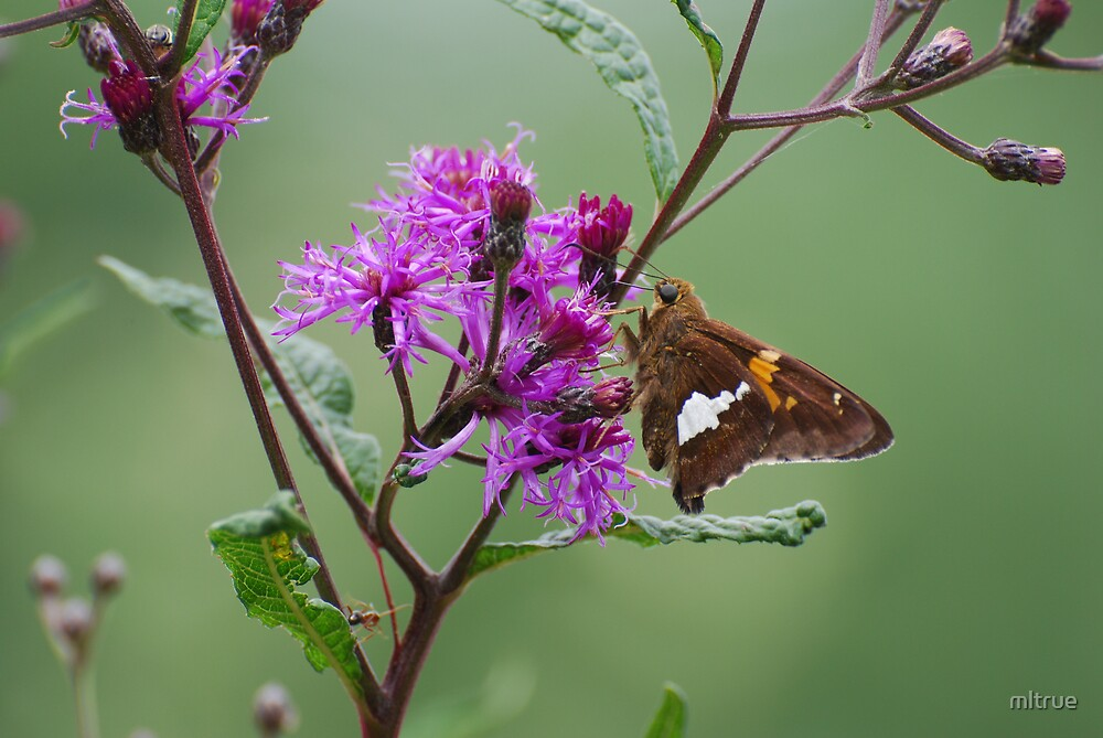 Brown Beauty on Purple Flower by mltrue