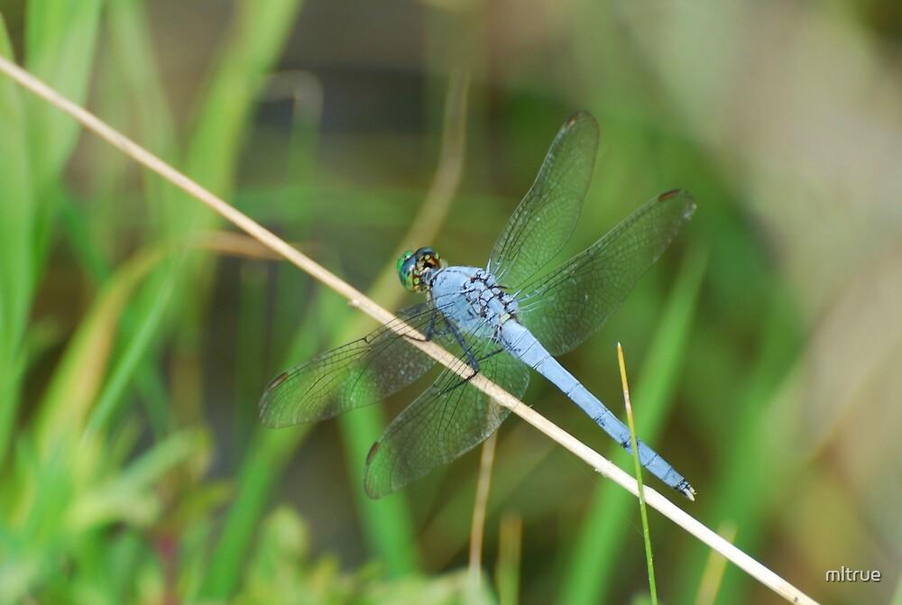 Blue dragonfly by mltrue