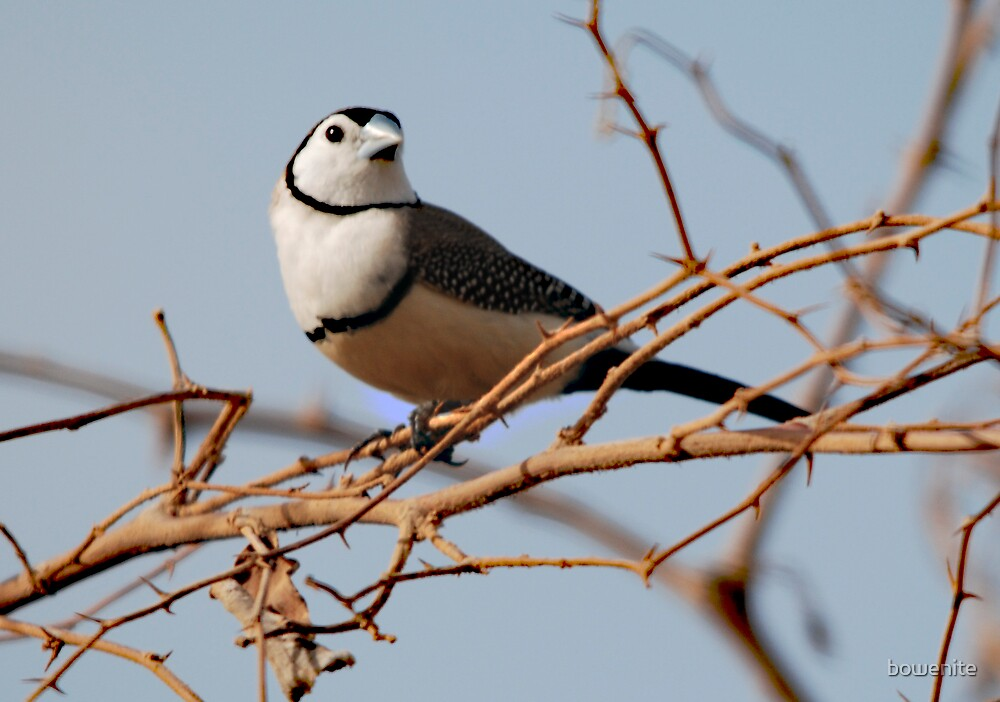 ''Double-barred Finch by bowenite