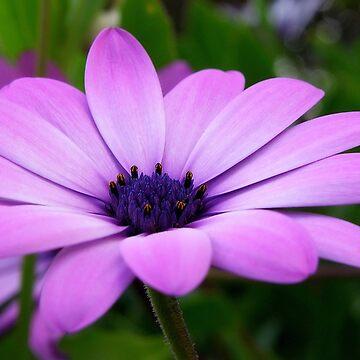 Purple by PaulaMcManus