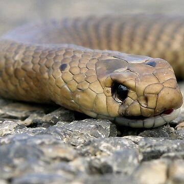 Brown Snake (Demansia textilis) by PaulaMcManus