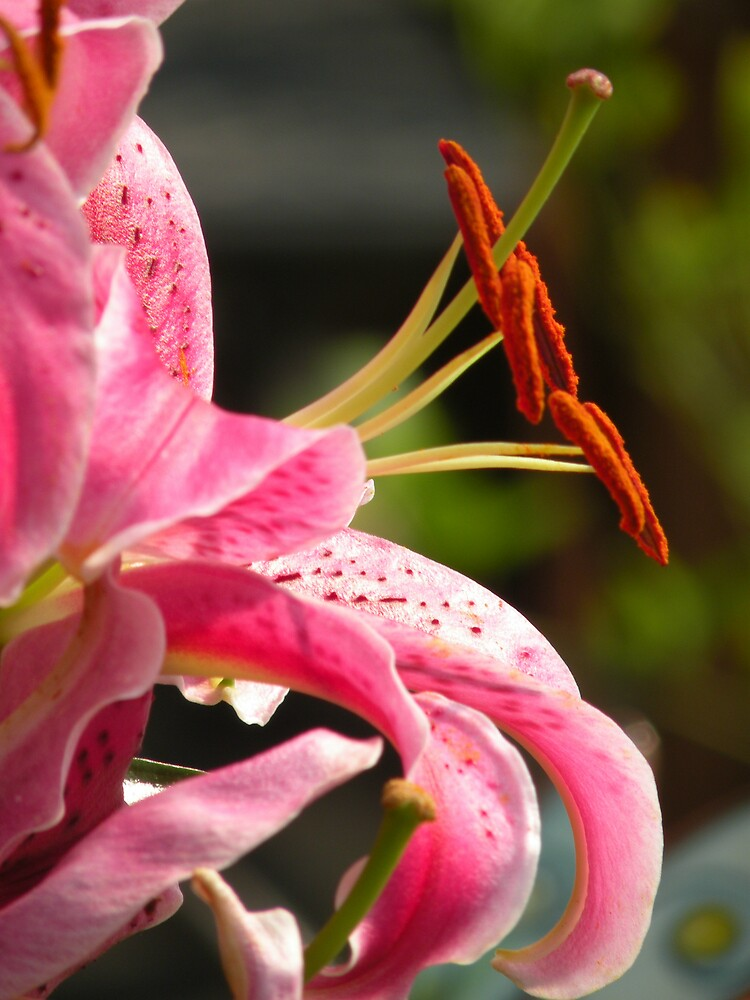 Pink Lily by Nokie