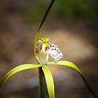 Yellow Spider Orchid by Paul Amyes
