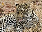 Leopard Cub Expressing Herself by Michael  Moss