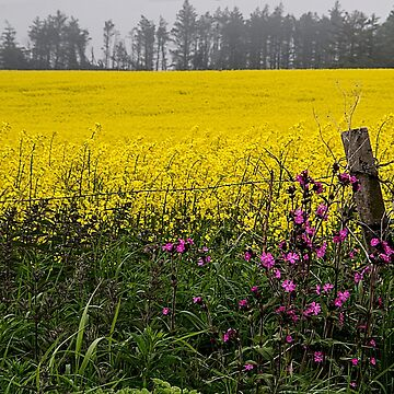 Field of Yellows by MarylouBadeaux