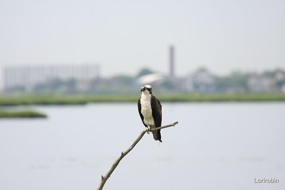 The Male Osprey by Lorirobin