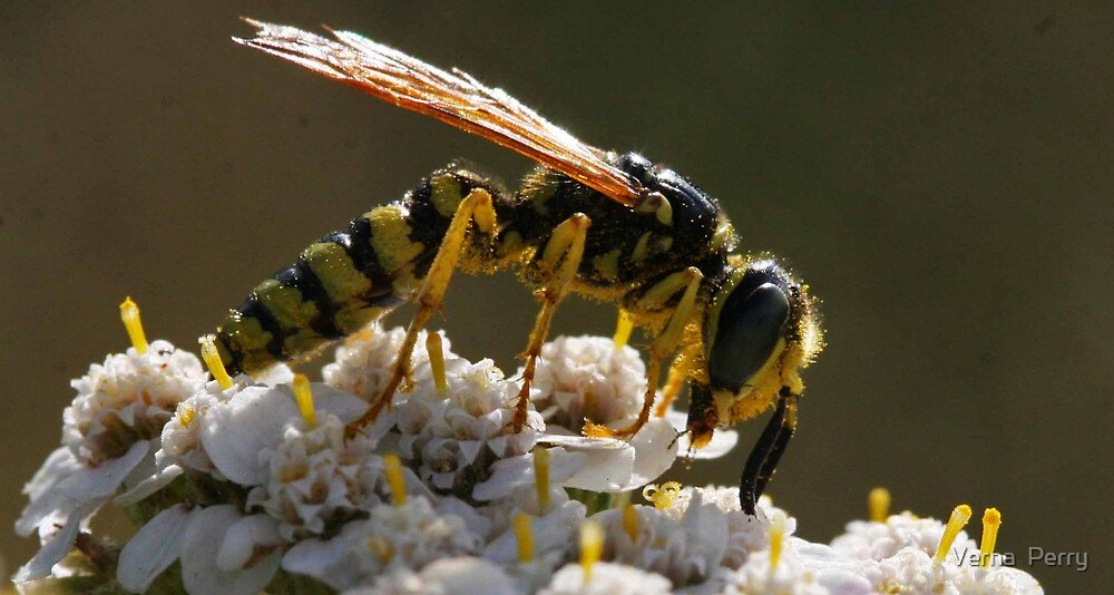 Bald faced wasp on white by Verna  Perry