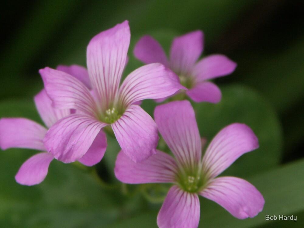 Pink Shamrock by Bob Hardy